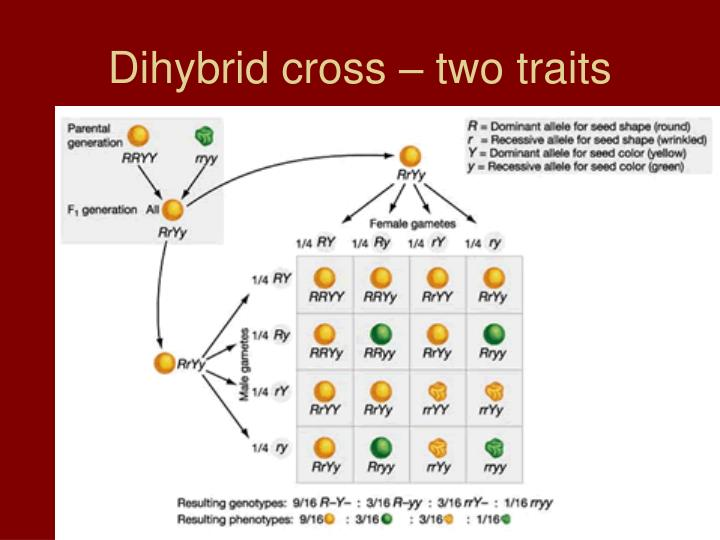 Dihybrid cross – two traits