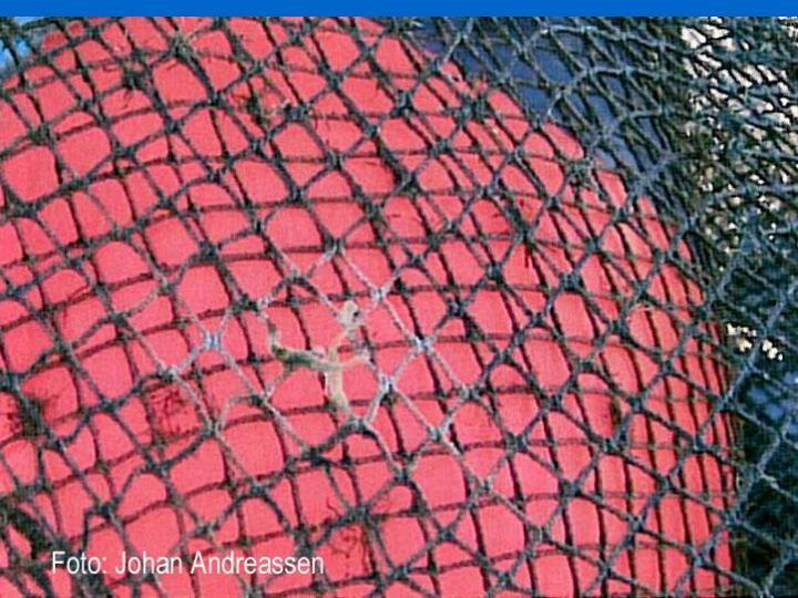 Flere bilder av not med hull spist av torsk