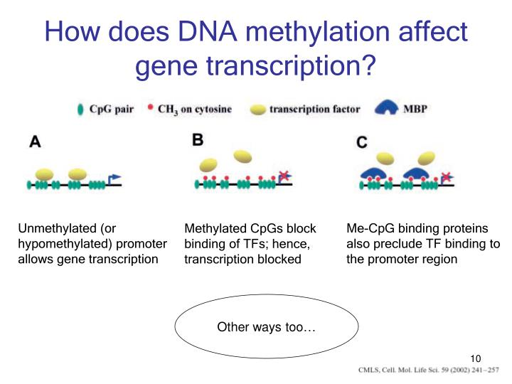 Unmethylated (or hypomethylated) promoter allows gene transcription