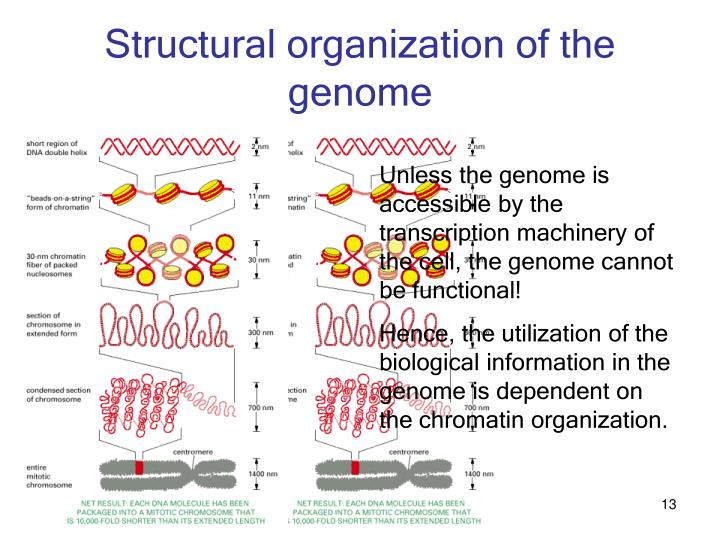 Structural organization of the genome