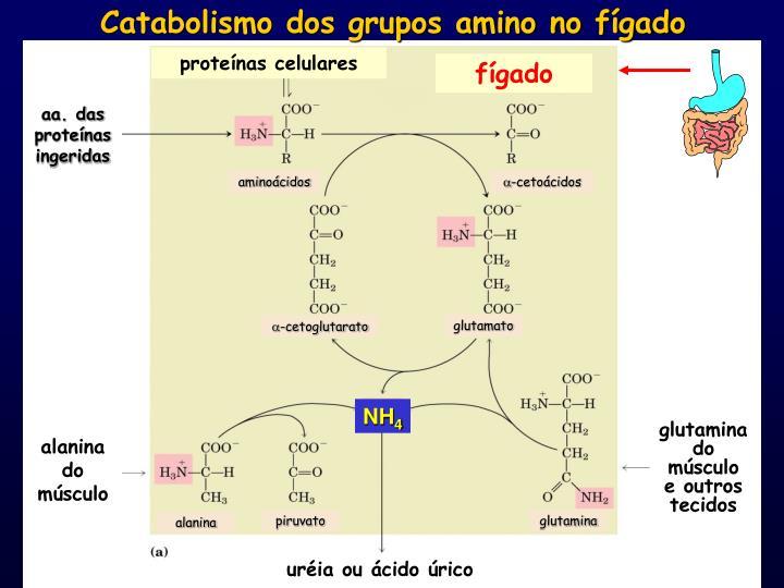 Catabolismo dos grupos amino no fígado