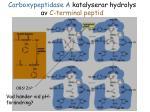 carboxypeptidase a katalyserar hydrolys av c terminal peptid