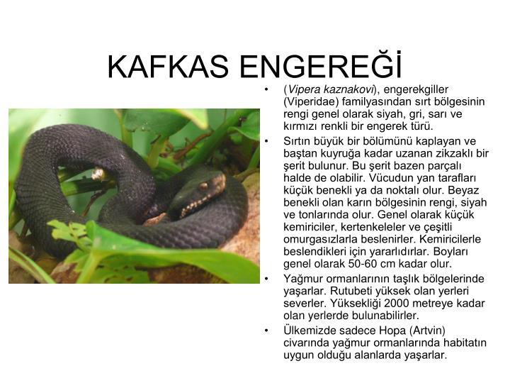 KAFKAS ENGEREĞİ