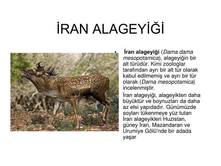 İRAN ALAGEYİĞİ