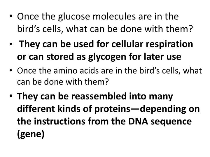 Once the glucose molecules are in the bird's cells, what can be done with them?