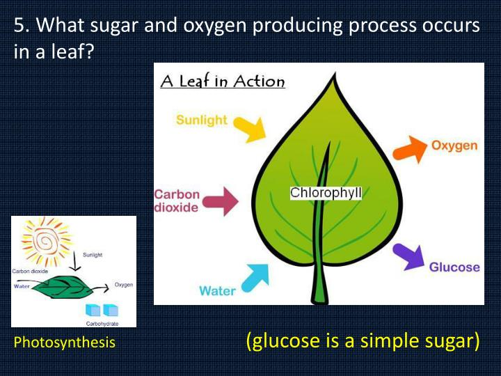 5. What sugar and oxygen producing process occurs in a leaf?