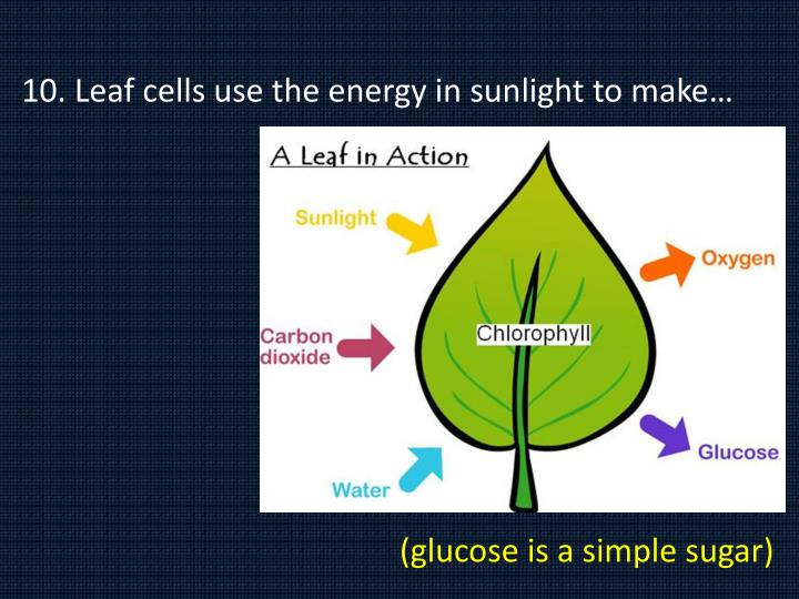 10. Leaf cells use the energy in sunlight to make…