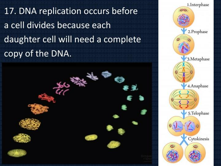 17. DNA replication occurs before