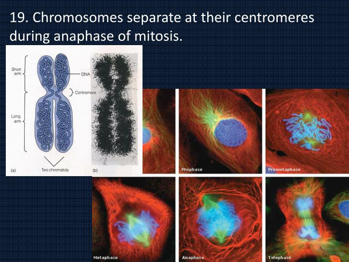 19. Chromosomes separate at their centromeres during anaphase of mitosis.