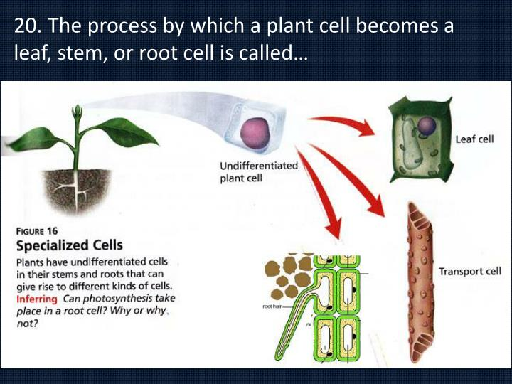 20. The process by which a plant cell becomes a leaf, stem, or root cell is called…