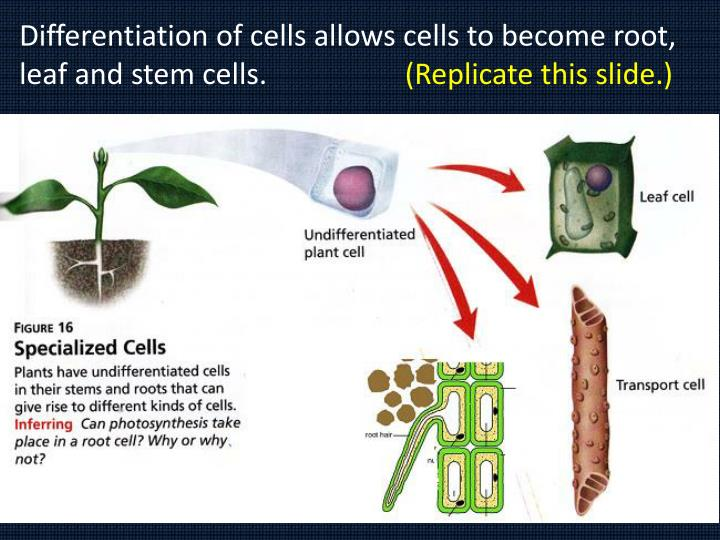 Differentiation of cells allows cells to become root, leaf and stem cells.
