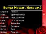 bunga mawar rosa sp
