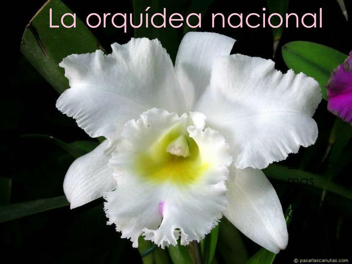 La orquídea nacional