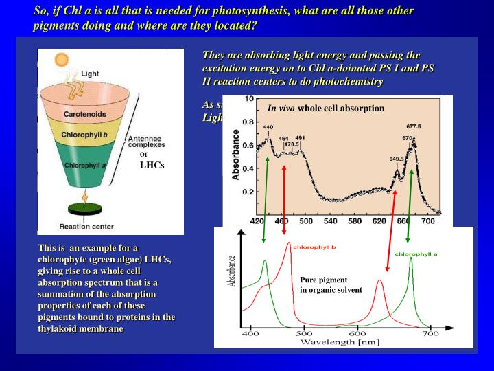 So, if Chl a is all that is needed for photosynthesis, what are all those other pigments doing and where are they located?