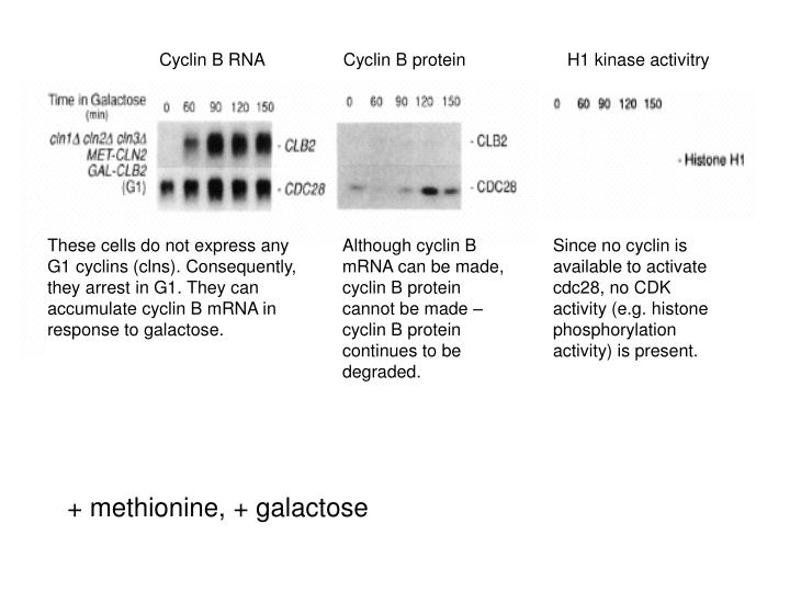 Cyclin B RNA