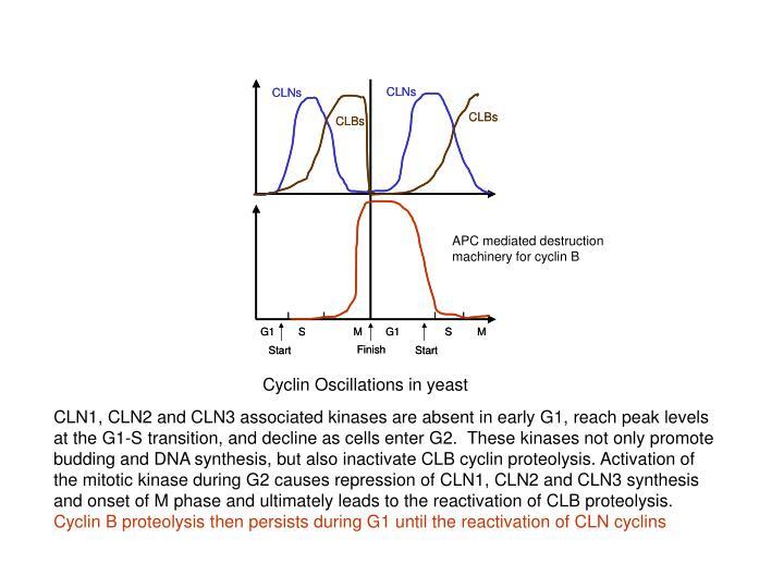 APC mediated destruction machinery for cyclin B