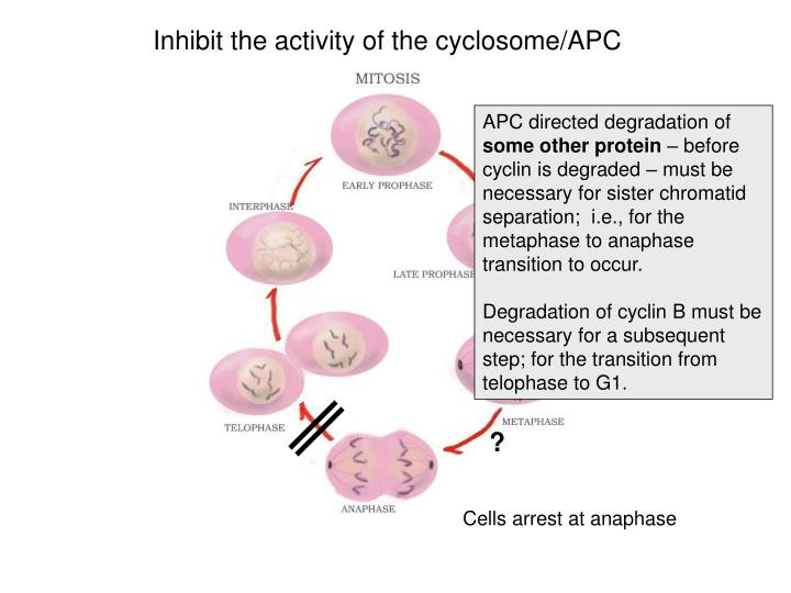 Inhibit the activity of the cyclosome/APC