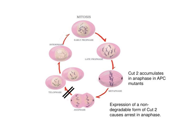 Cut 2 accumulates in anaphase in APC mutants