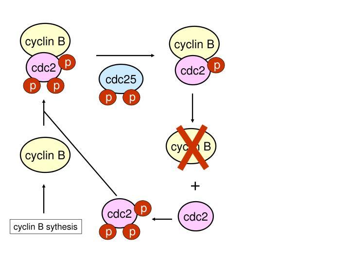 cyclin B