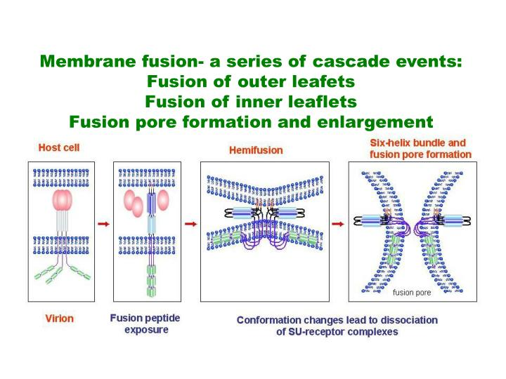 Membrane fusion- a series of cascade events: