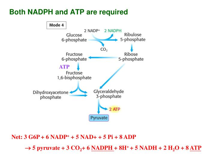 Both NADPH and ATP are required