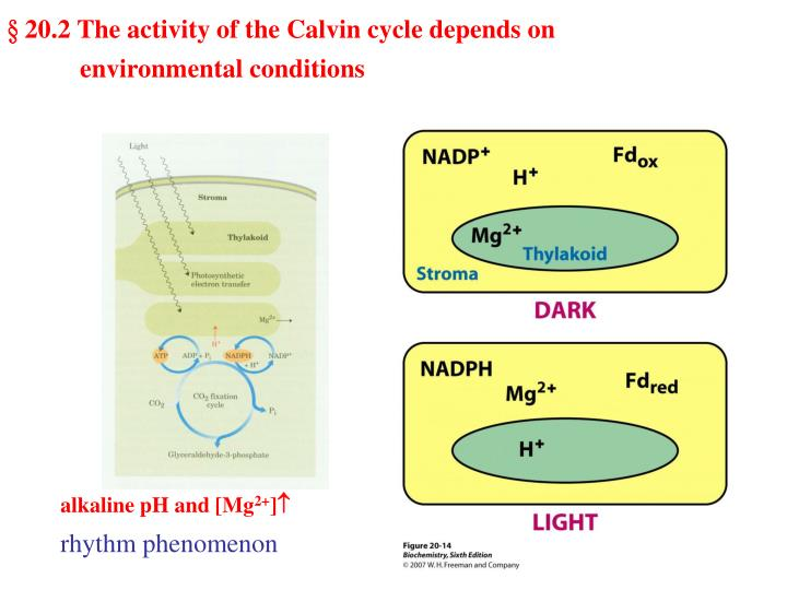 § 20.2 The activity of the Calvin cycle depends on