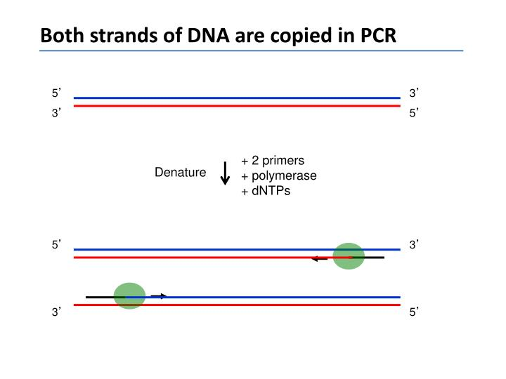 Both strands of DNA are copied in PCR