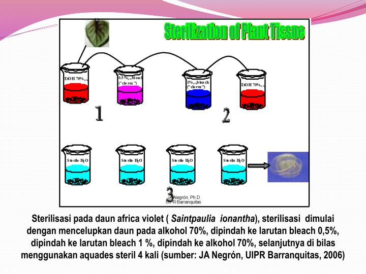 Sterilisasi pada daun africa violet (