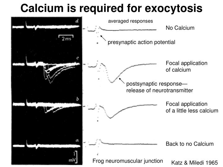 Calcium is required for exocytosis