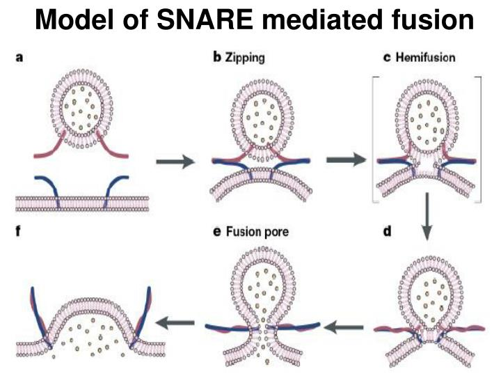 Model of SNARE mediated fusion
