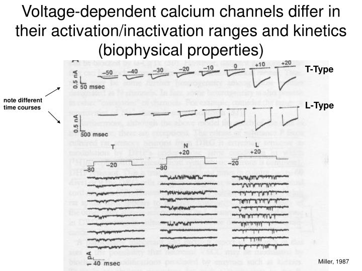 Voltage-dependent calcium channels differ in their activation/inactivation ranges and kinetics (biophysical properties)