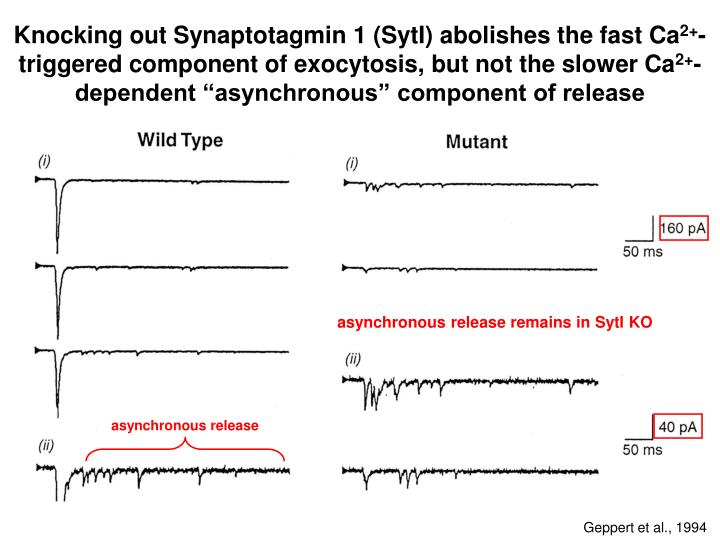 Knocking out Synaptotagmin 1 (SytI) abolishes the fast Ca
