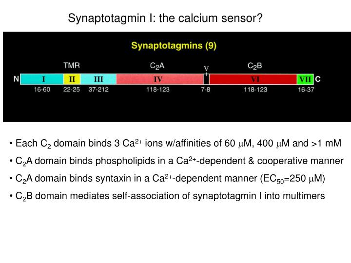 Synaptotagmin I: the calcium sensor?