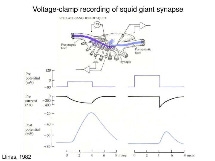 Voltage-clamp recording of squid giant synapse
