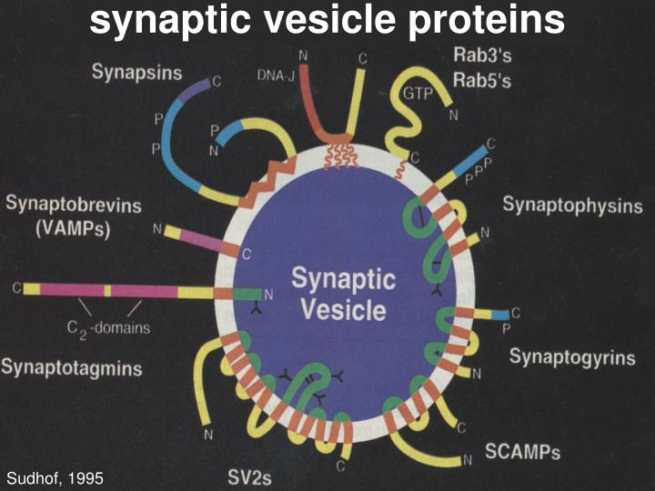 synaptic vesicle proteins