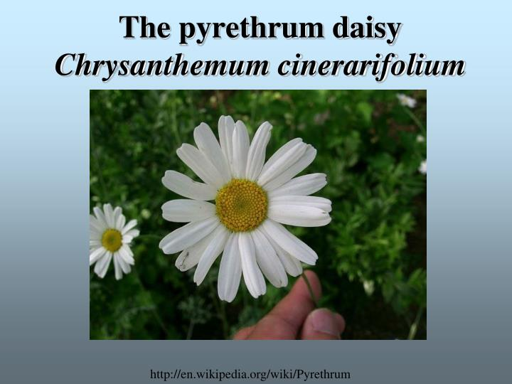 The pyrethrum daisy