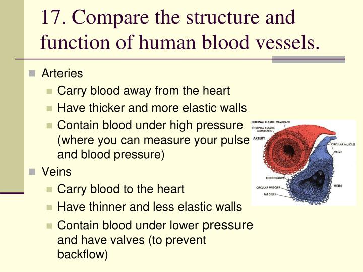 17. Compare the structure and function of human blood vessels.