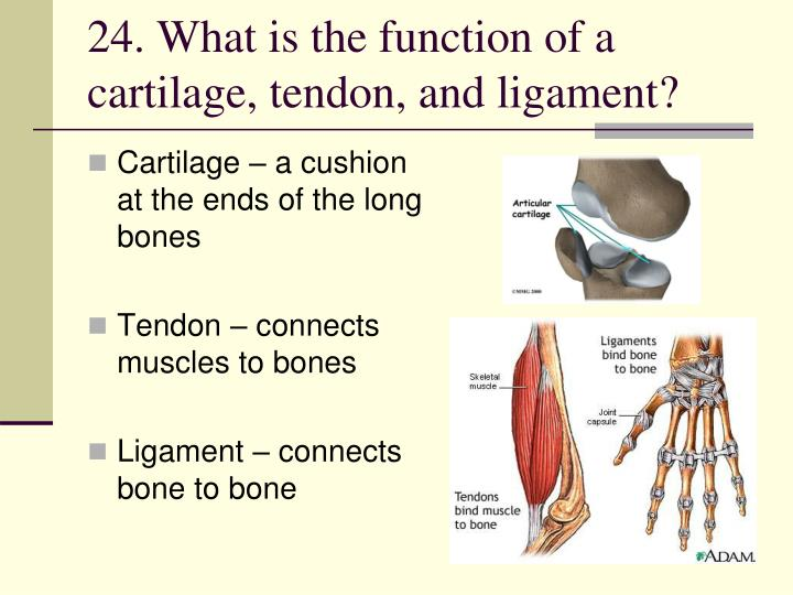 24. What is the function of a cartilage, tendon, and ligament?