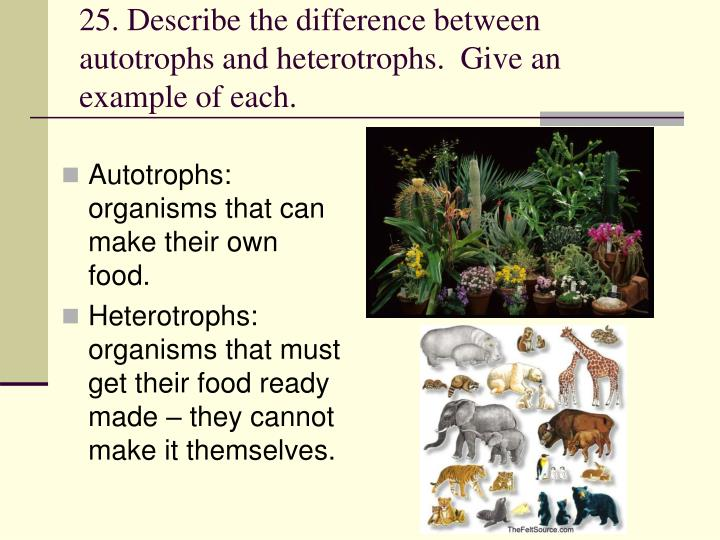 25. Describe the difference between autotrophs and heterotrophs.  Give an example of each.