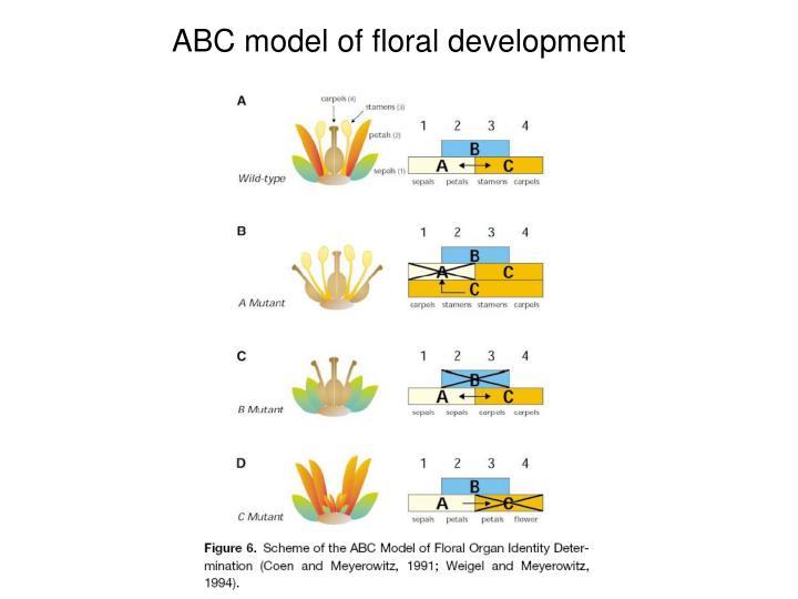 ABC model of floral development