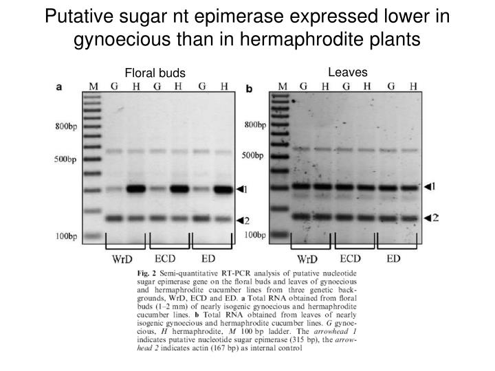 Putative sugar nt epimerase expressed lower in gynoecious than in hermaphrodite plants