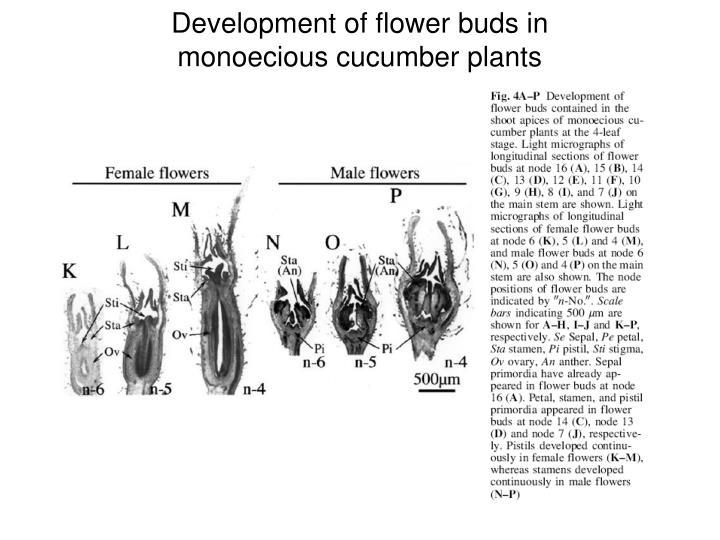 Development of flower buds in