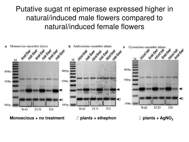 Putative sugat nt epimerase expressed higher in natural/induced male flowers compared to natural/induced female flowers