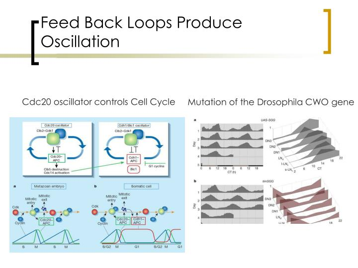 Feed Back Loops Produce Oscillation