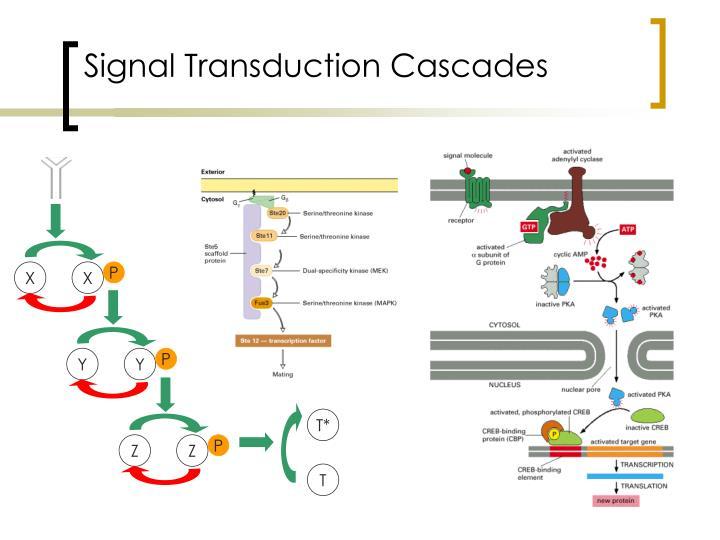 Signal Transduction Cascades
