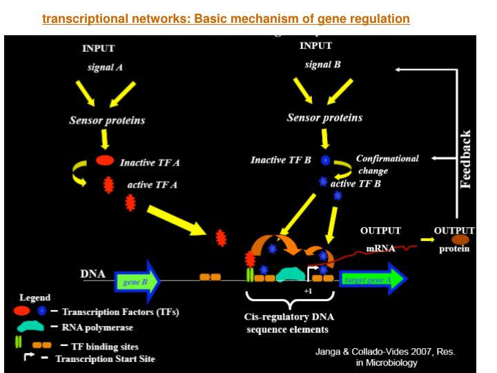 Transcriptional networks: Basic mechanism of gene regulation