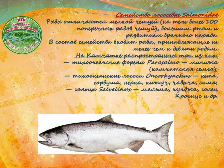 Семейство лососевые Salmonidae