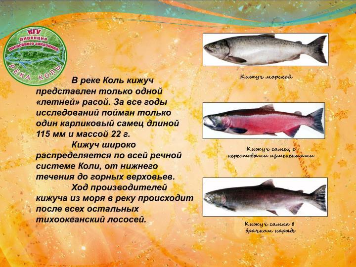 В реке Коль кижуч представлен только одной «летней» расой. За все годы исследований пойман только один карликовый самец длиной 115 мм и массой 22 г.