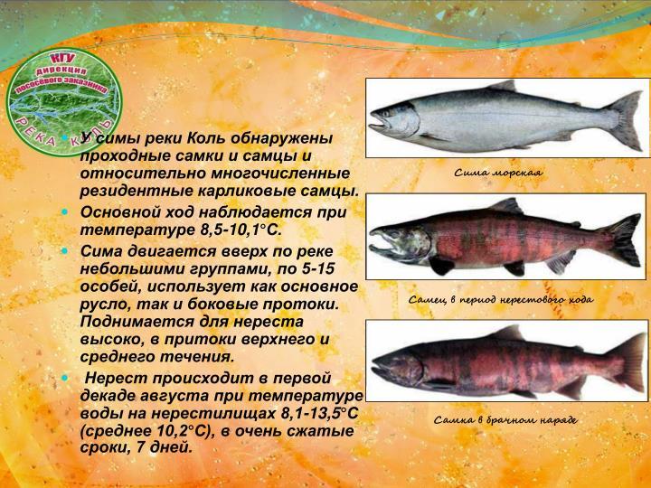 У симы реки Коль обнаружены проходные самки и самцы и относительно многочисленные резидентные карликовые самцы.