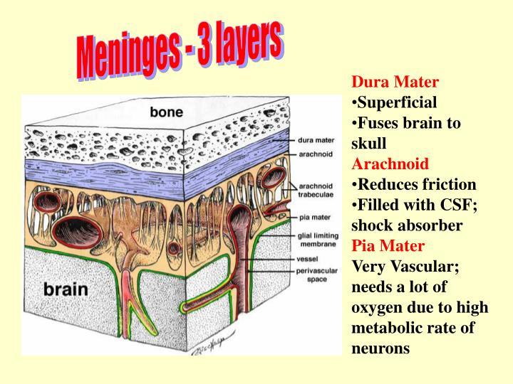 PPT - Brain Anatomy PowerPoint Presentation - ID:3634385